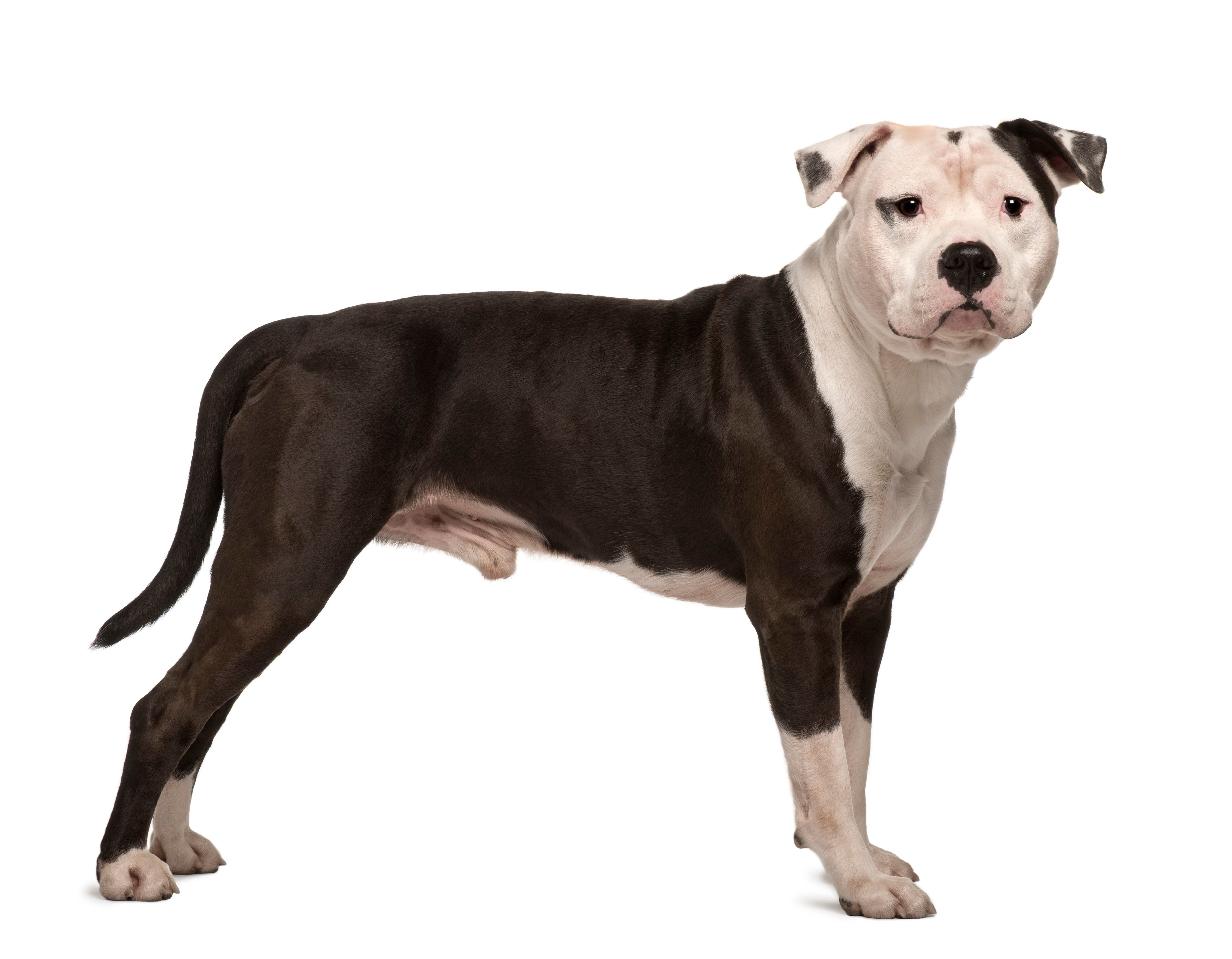 American Staffordshire Terrier Dog Breed Pictures
