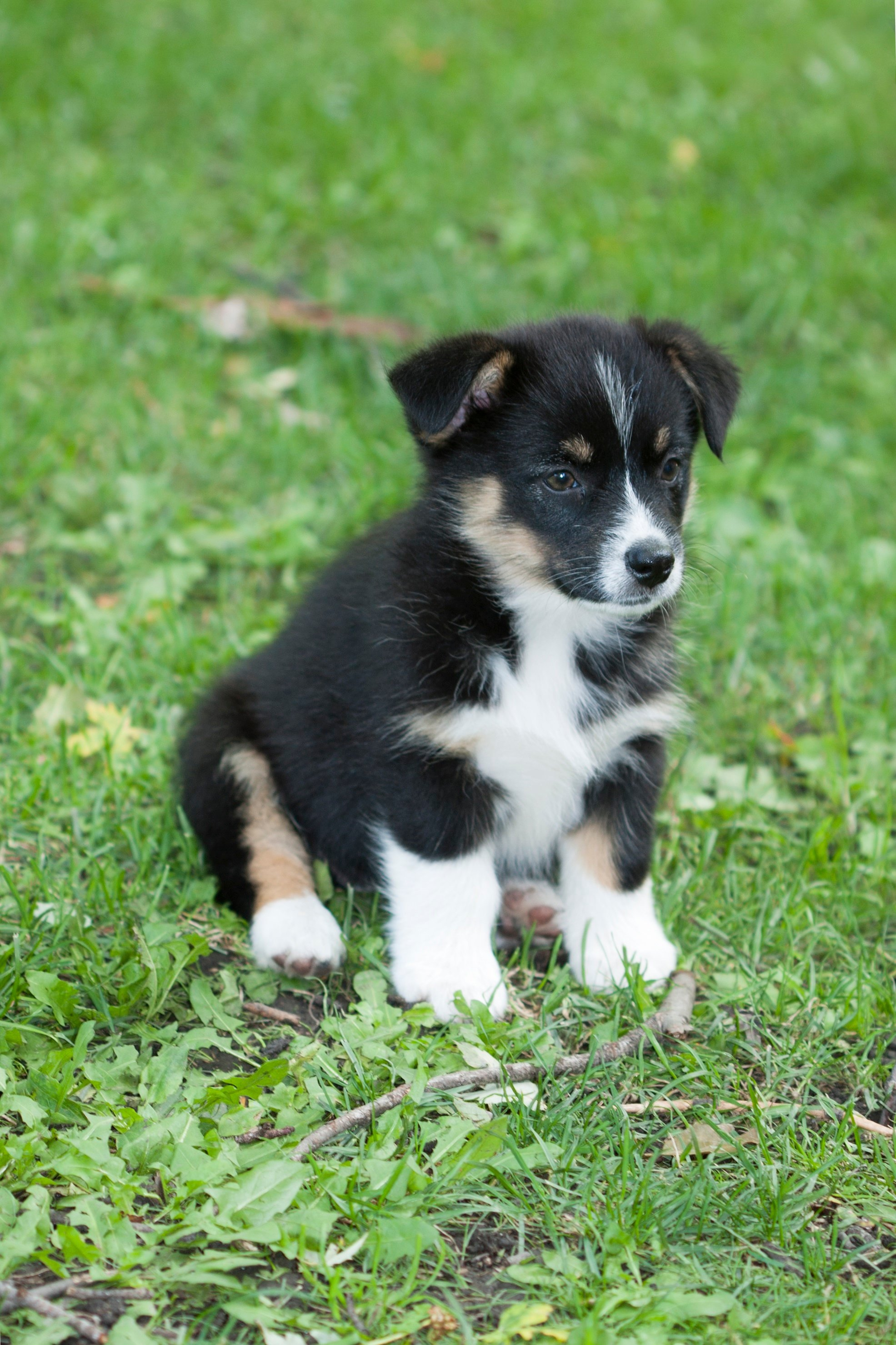Auggie Mixed Dog Breed Pictures