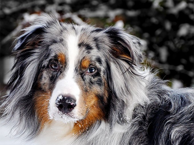 Australian Shepherd Dog Breed Information Pictures Characteristics Facts Dogtime