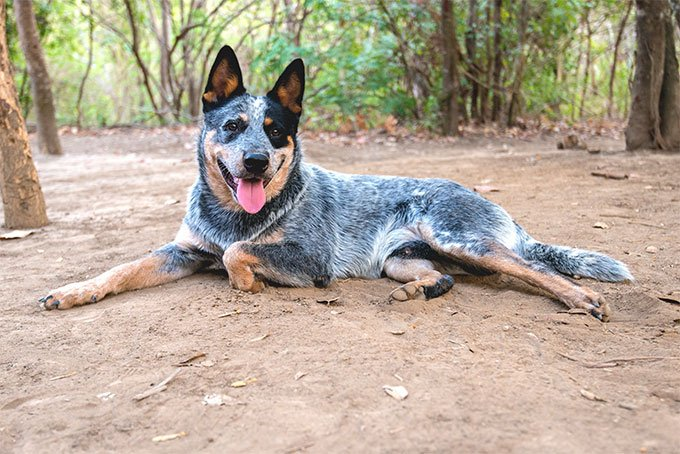 Australian Cattle Dog Dog Breed Picture