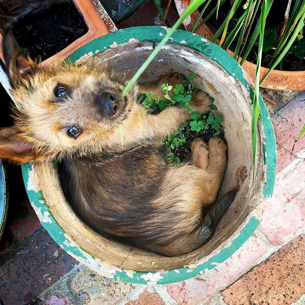 Australian Terrier Dog Breed Picture