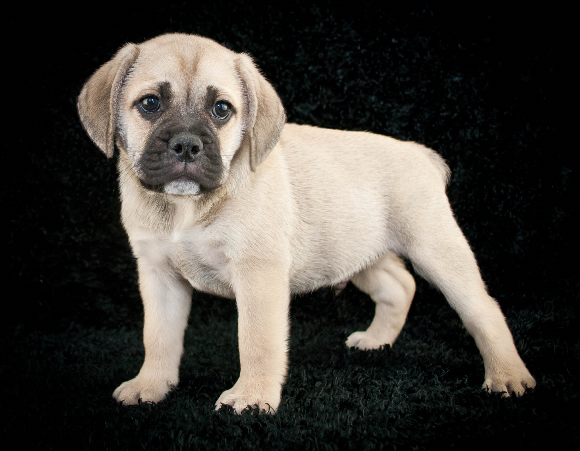 Beabull Mixed Dog Breed Pictures