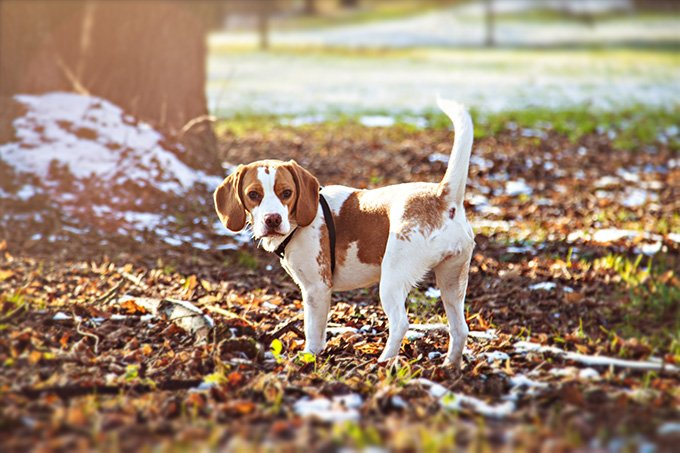 Beagle Dog Breed Picture