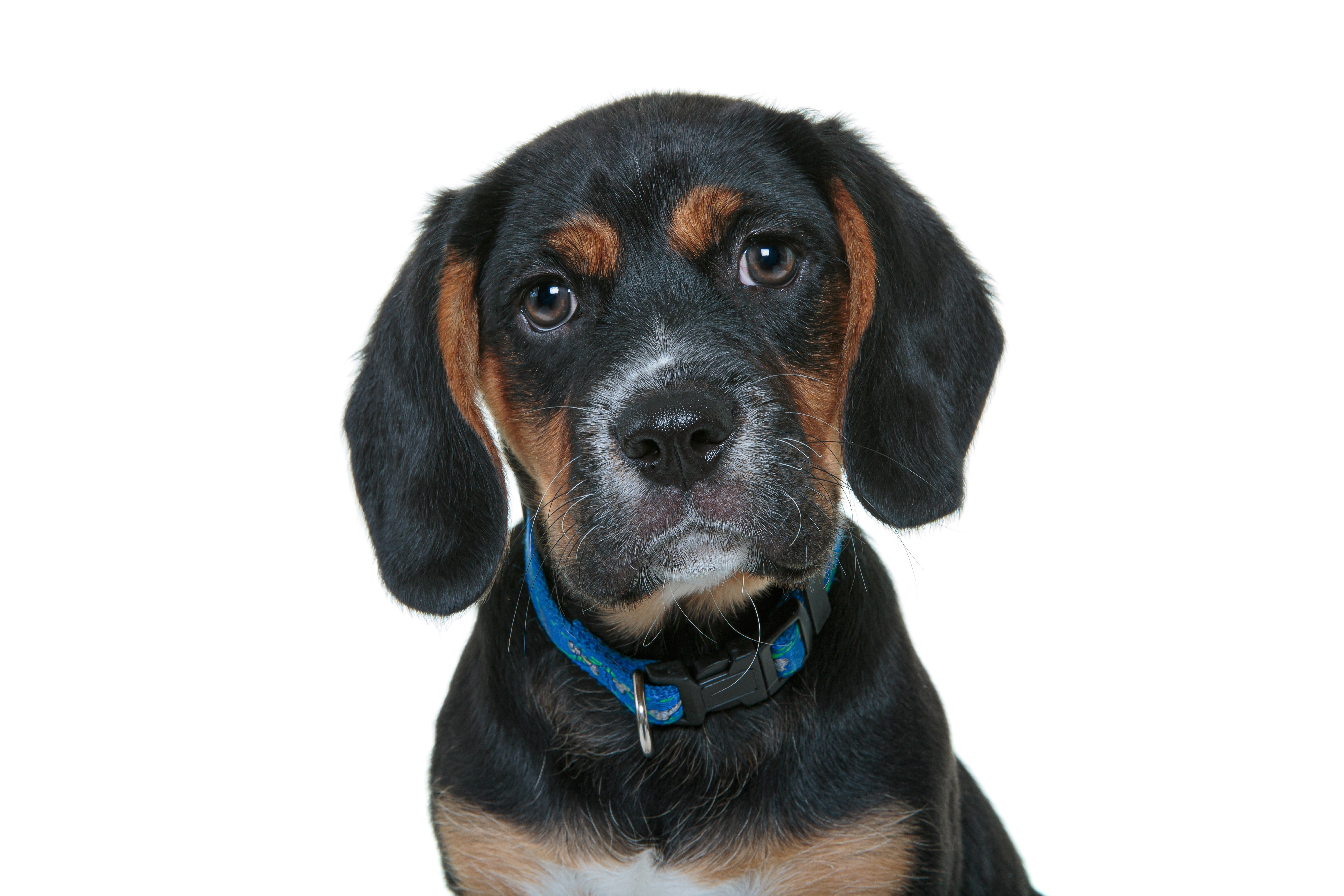 Beaglier Mixed Dog Breed Pictures