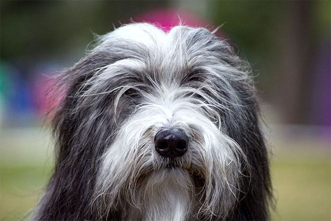 Bearded Collie Dog Bread Picture