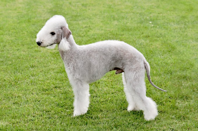 Bedlington Terrier Dogs And Puppies