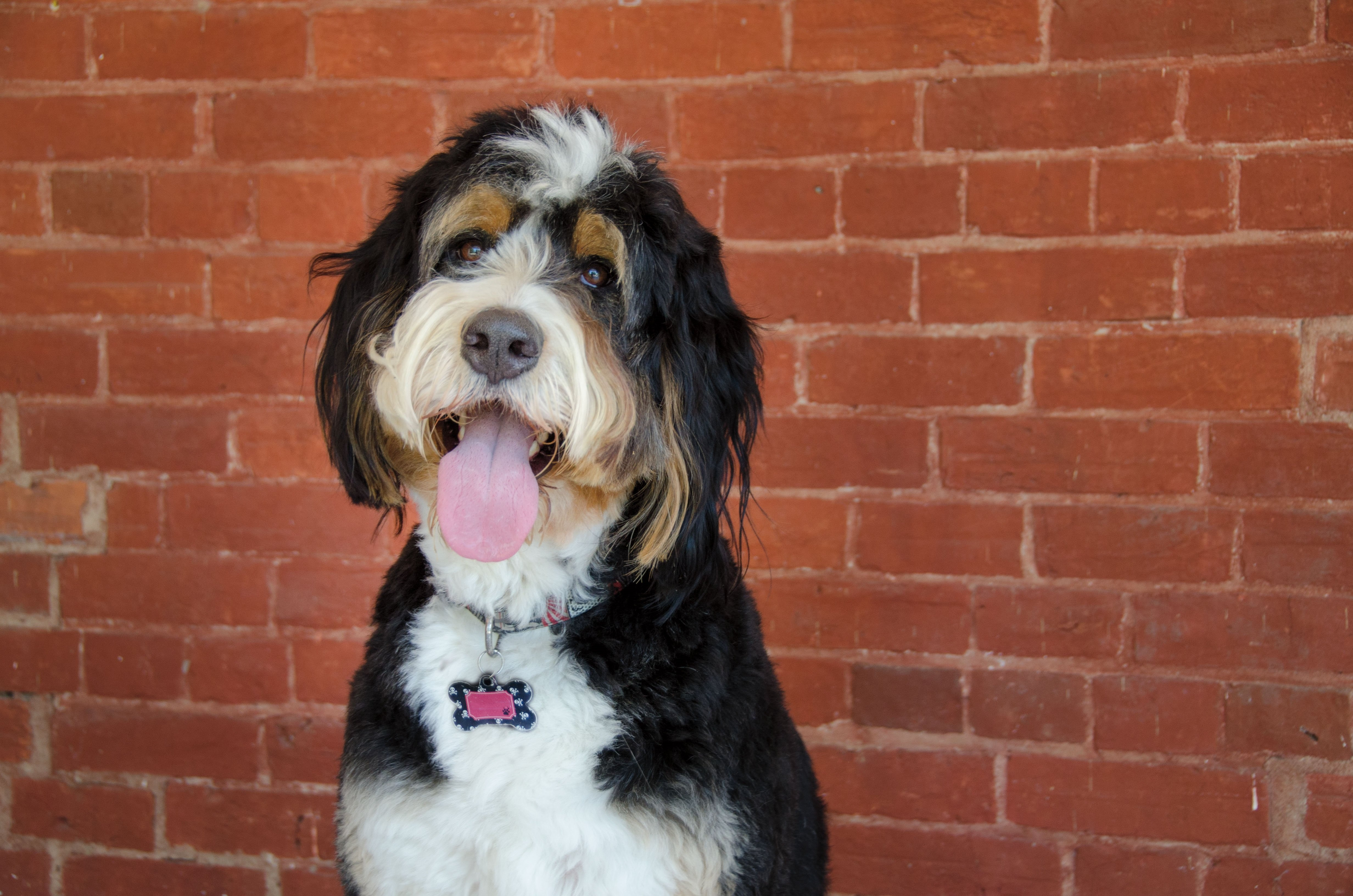 Bernedoodle Dog Breed Pictures