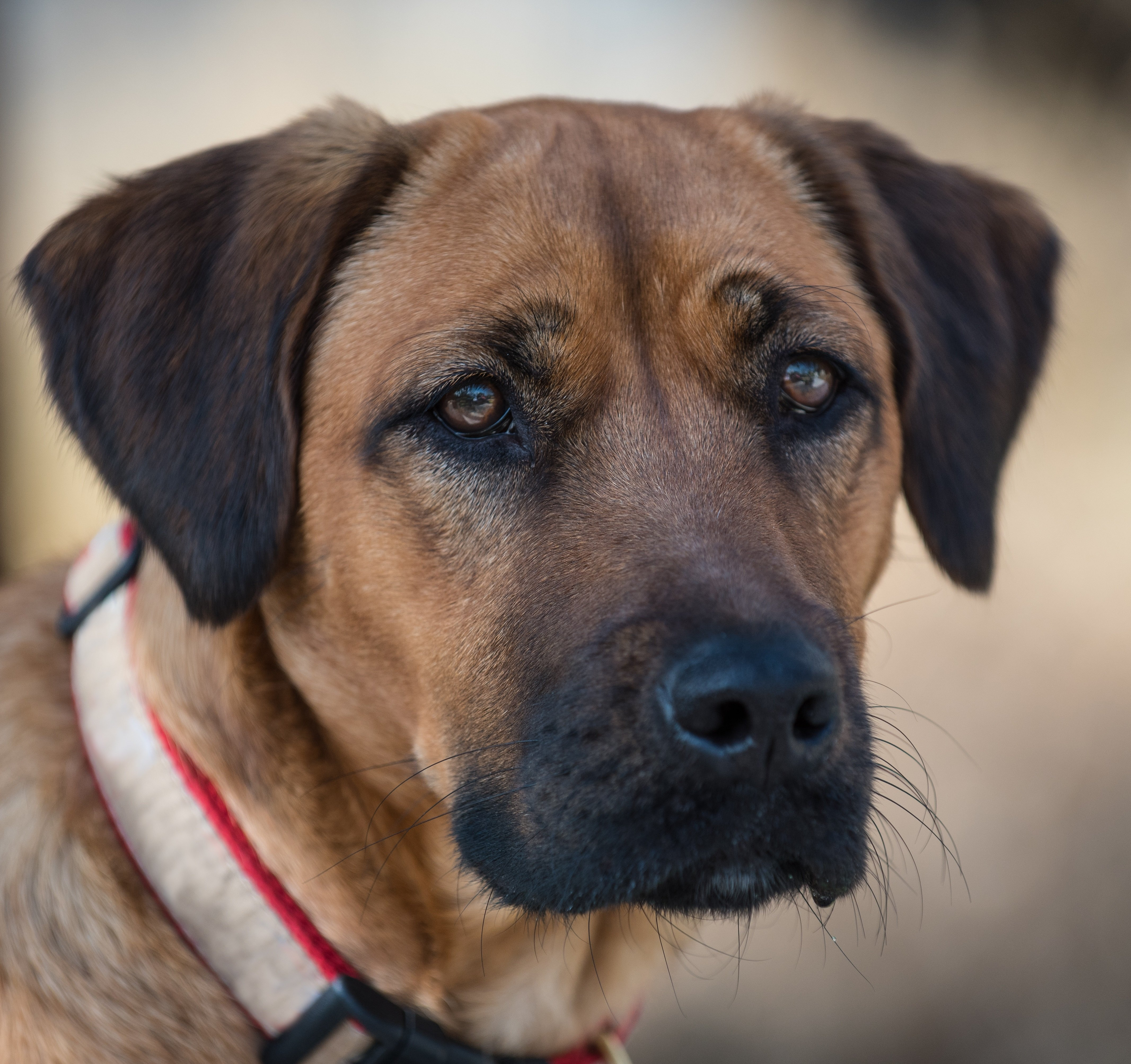 Black Mouth Cur Dog Breed Pictures