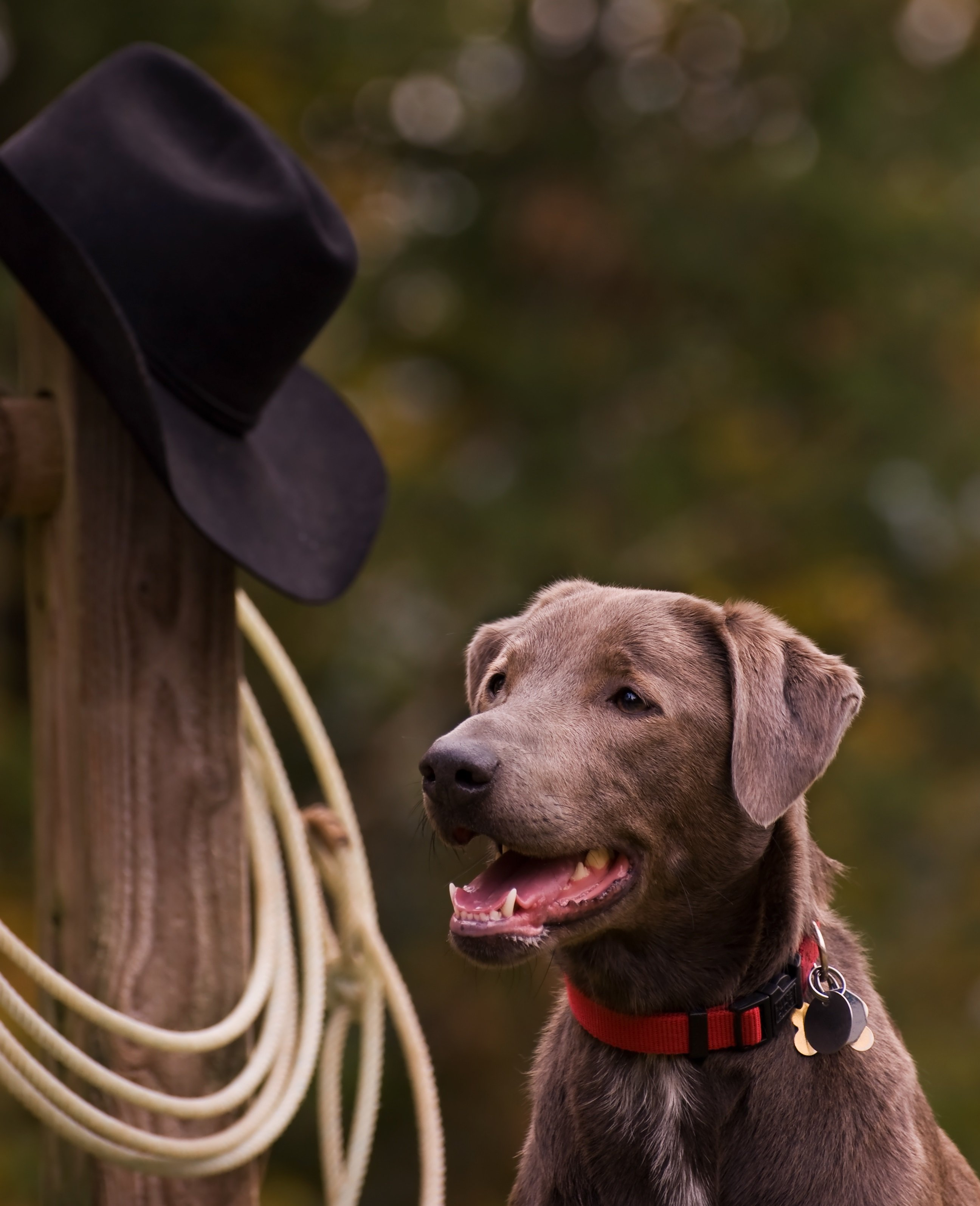 Blue Lacy Dog Breed Pictures