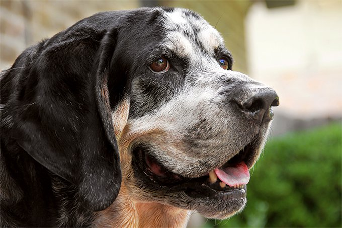 Bluetick Coonhound Dog Breed Picture