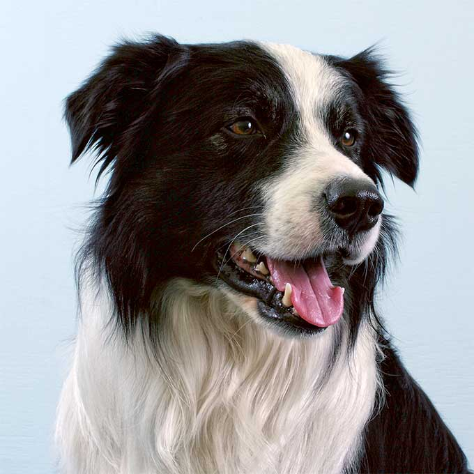 Border Collie Dog Breed Picture