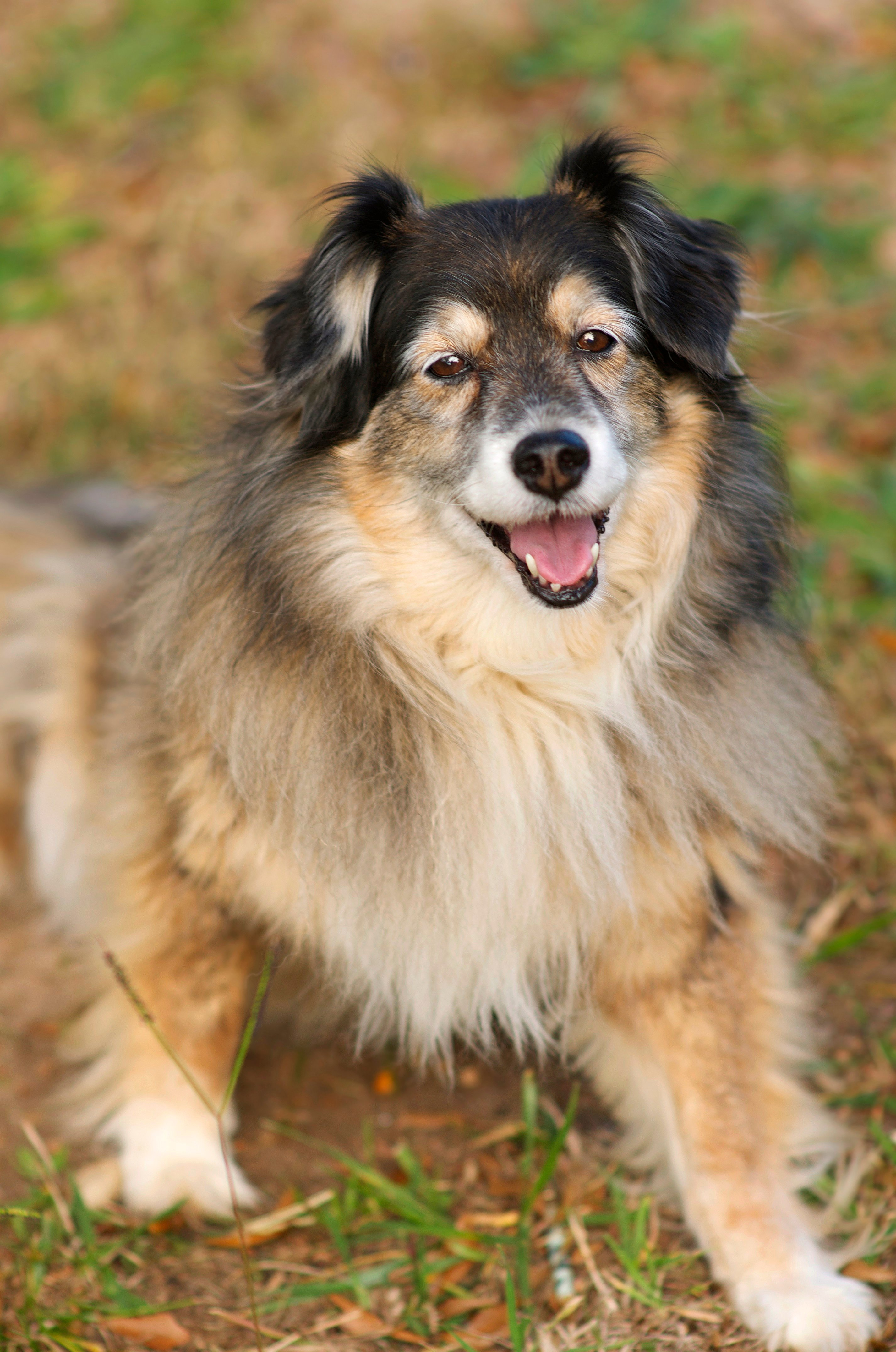Border Sheepdog Mixed Dog Breed Pictures