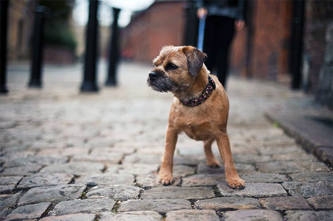 Border Terrier Dog Breed Picture