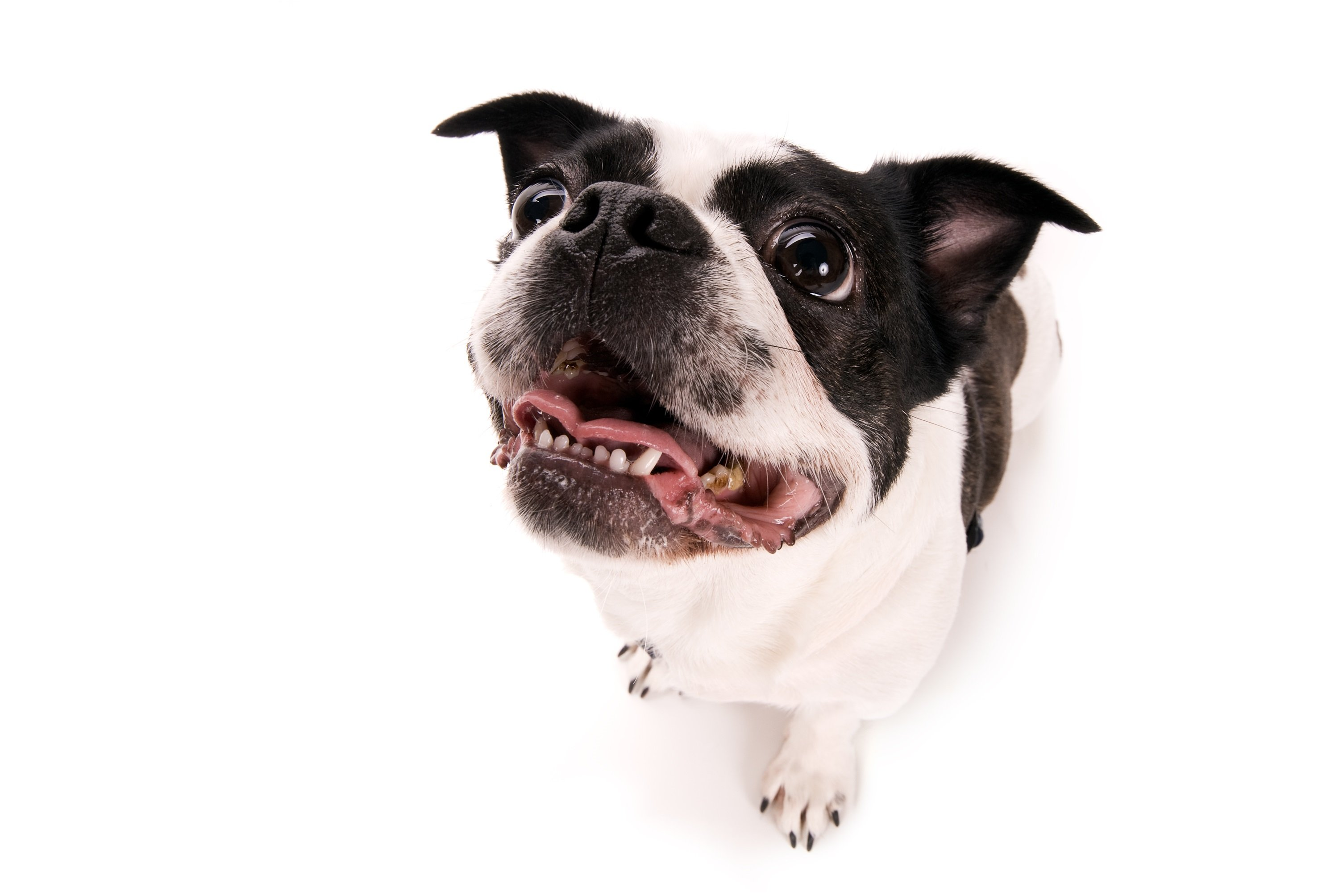Boston Terrier Pekingese Mixed Dog Breed Pictures