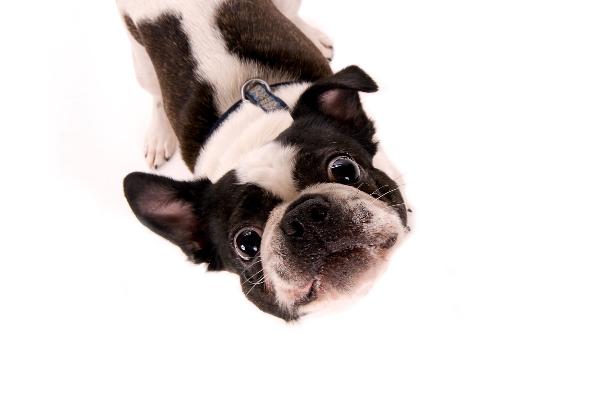 Boston Terrier Pekingese Mixed Dog Breed Pictures Characteristics Facts