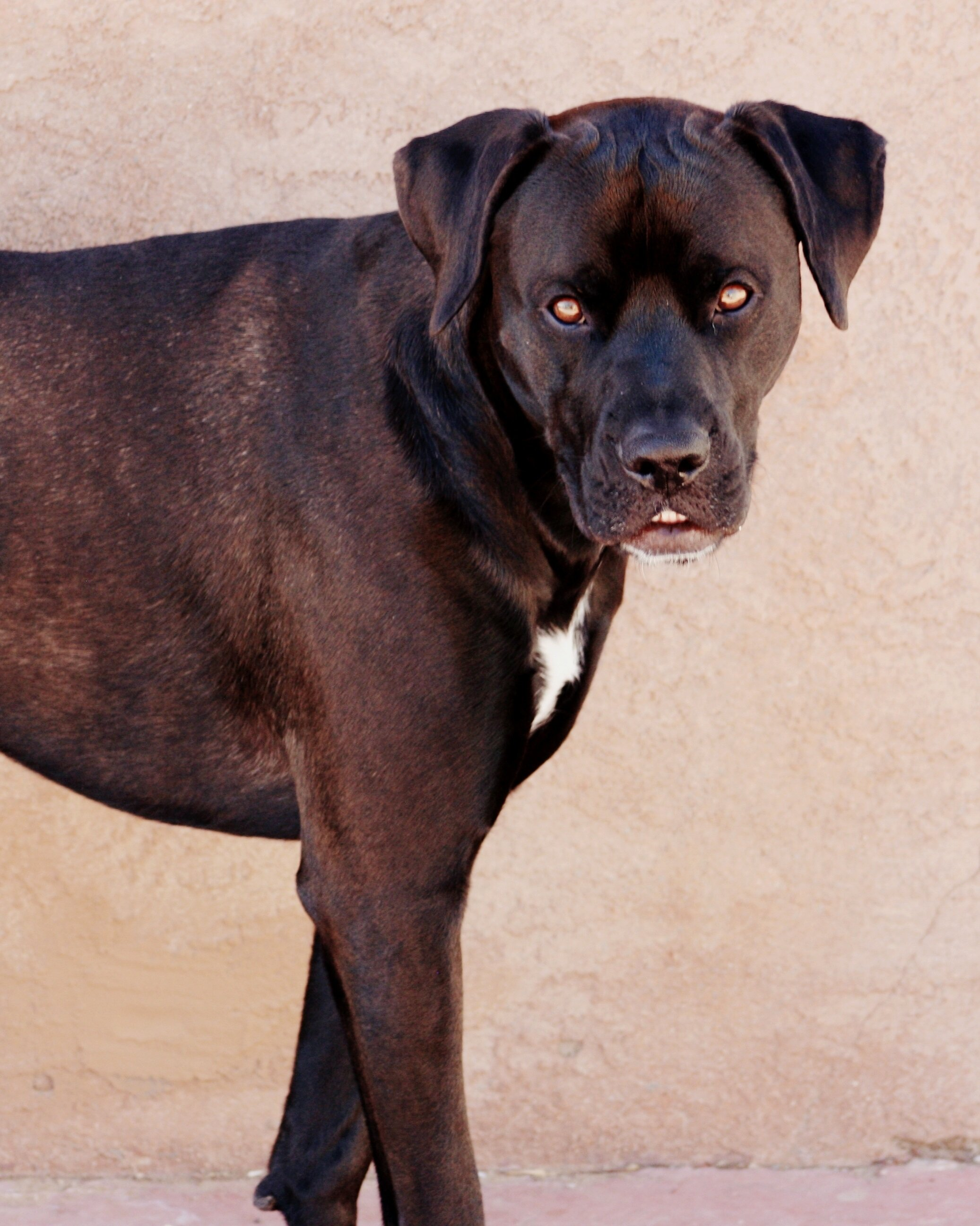 Boxador Mixed Dog Breed Pictures