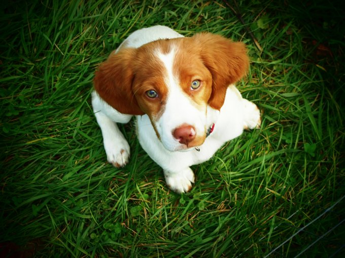 Brittany Dogs And Puppies