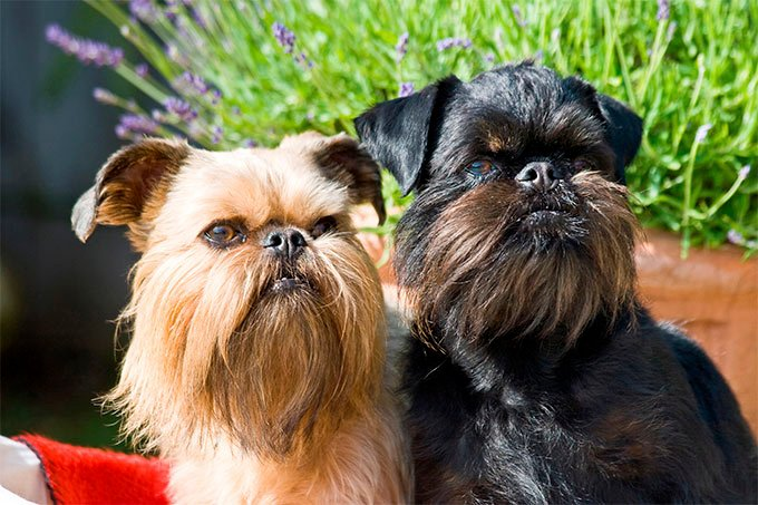 Brussels Griffon Dog Breed Picture