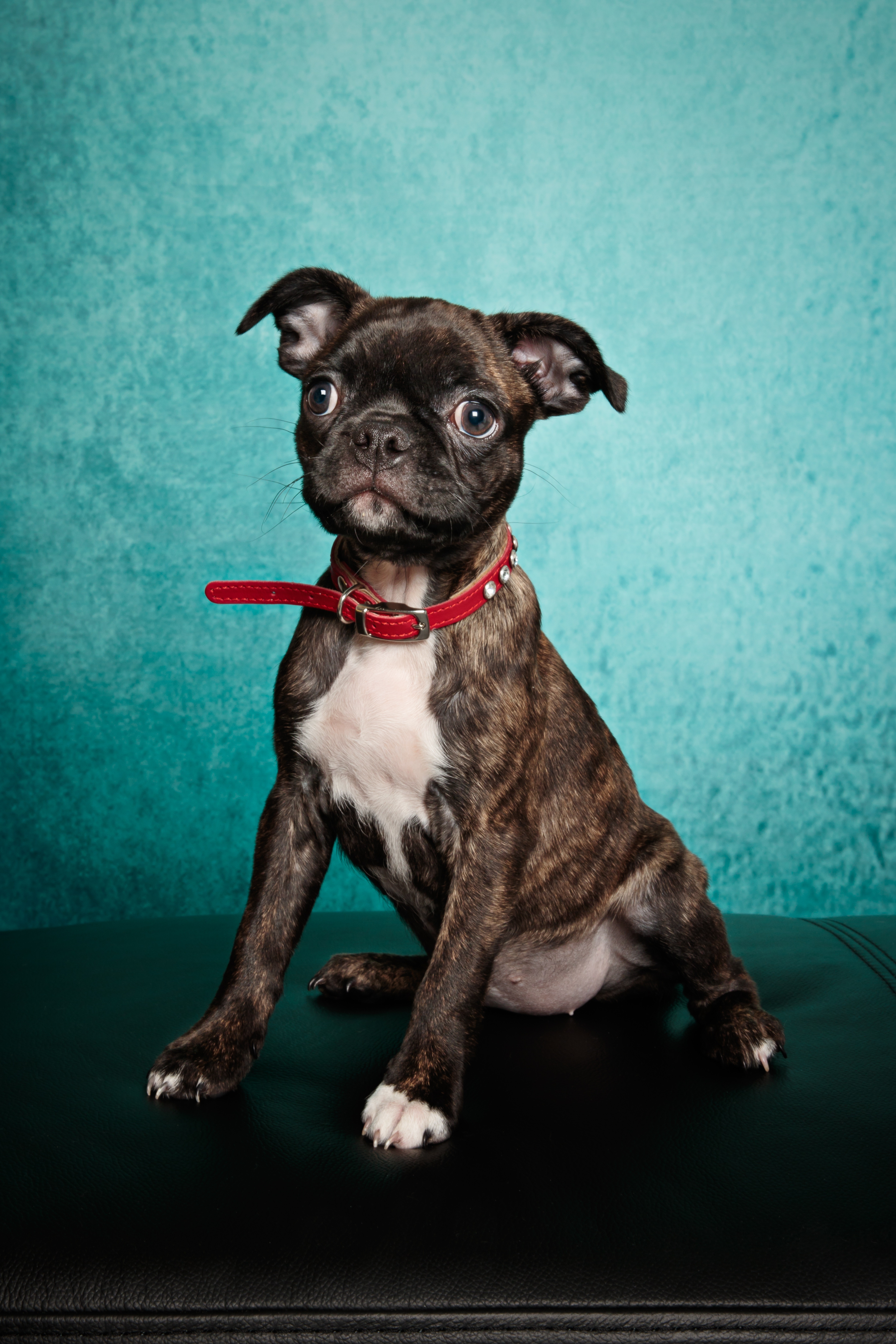Bugg Mixed Dog Breed Pictures