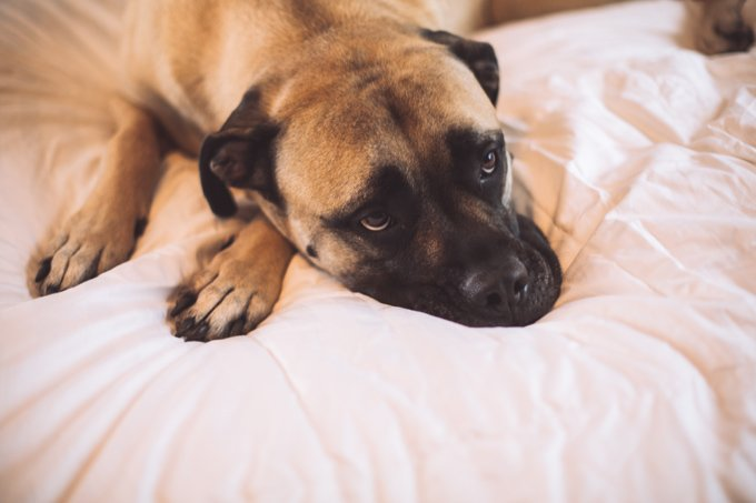Bullmastiff Dogs And Puppies
