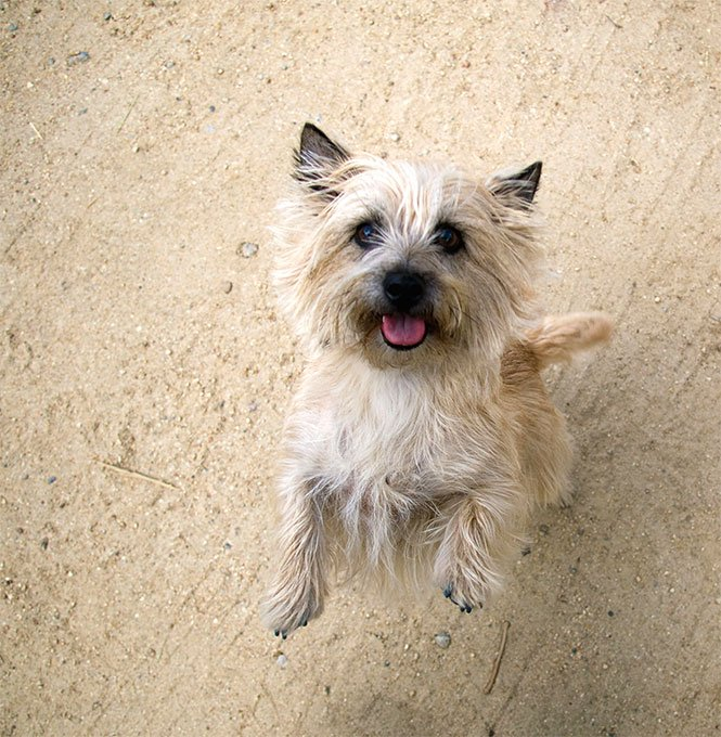 Cairn Terrier Dog Breed Picture
