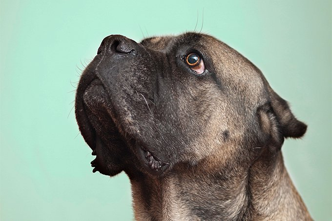 Cane Corso Dog Breed Picture