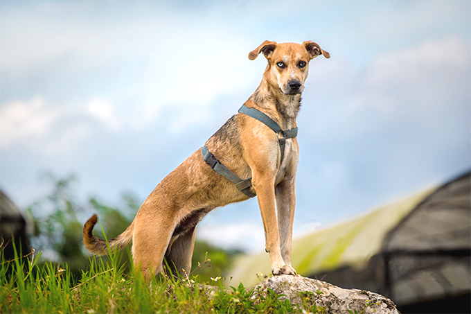 Catahoula Leopard Dog Breed Picture