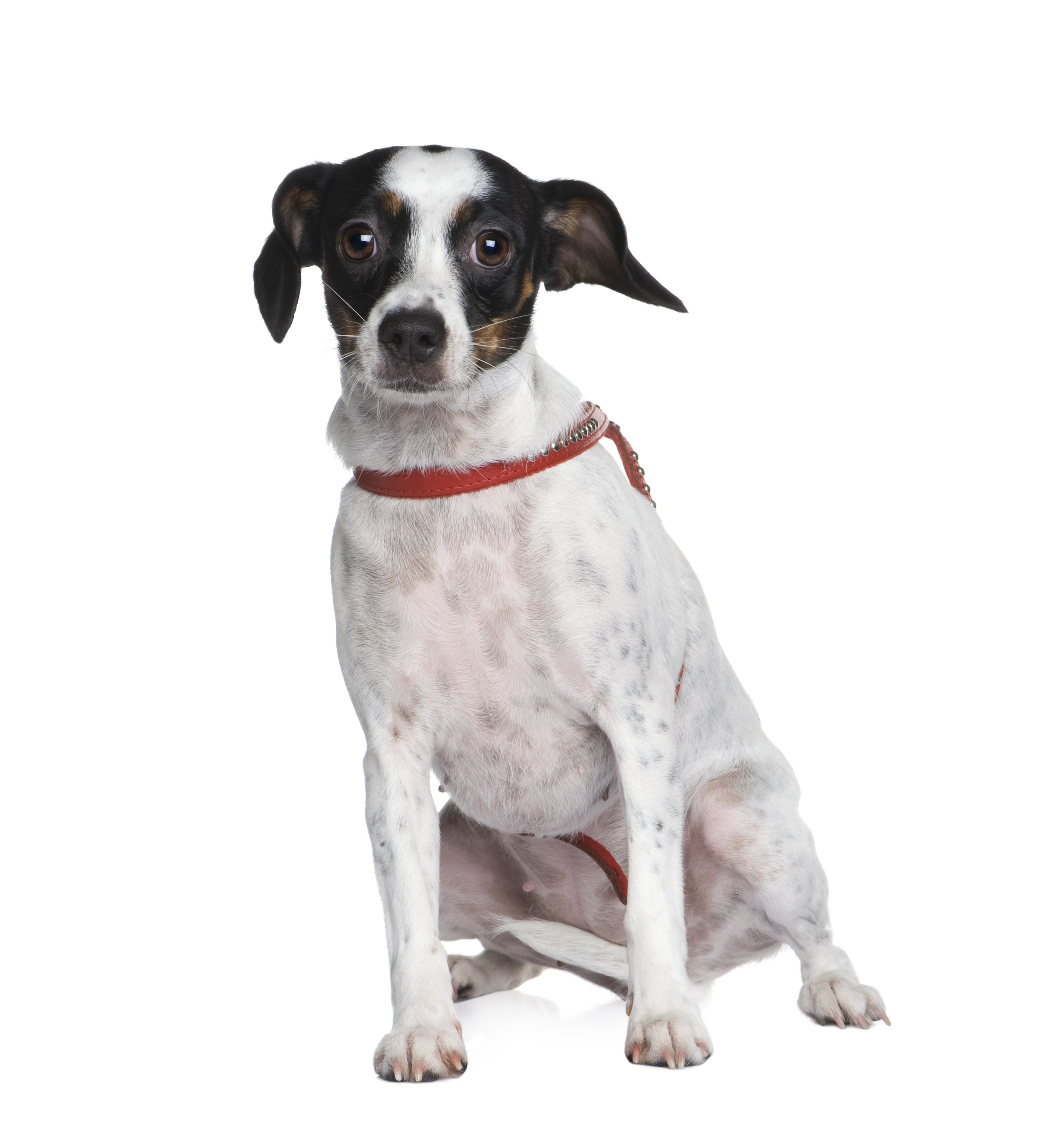 Cav-A-Jack Mixed Dog Breed Pictures
