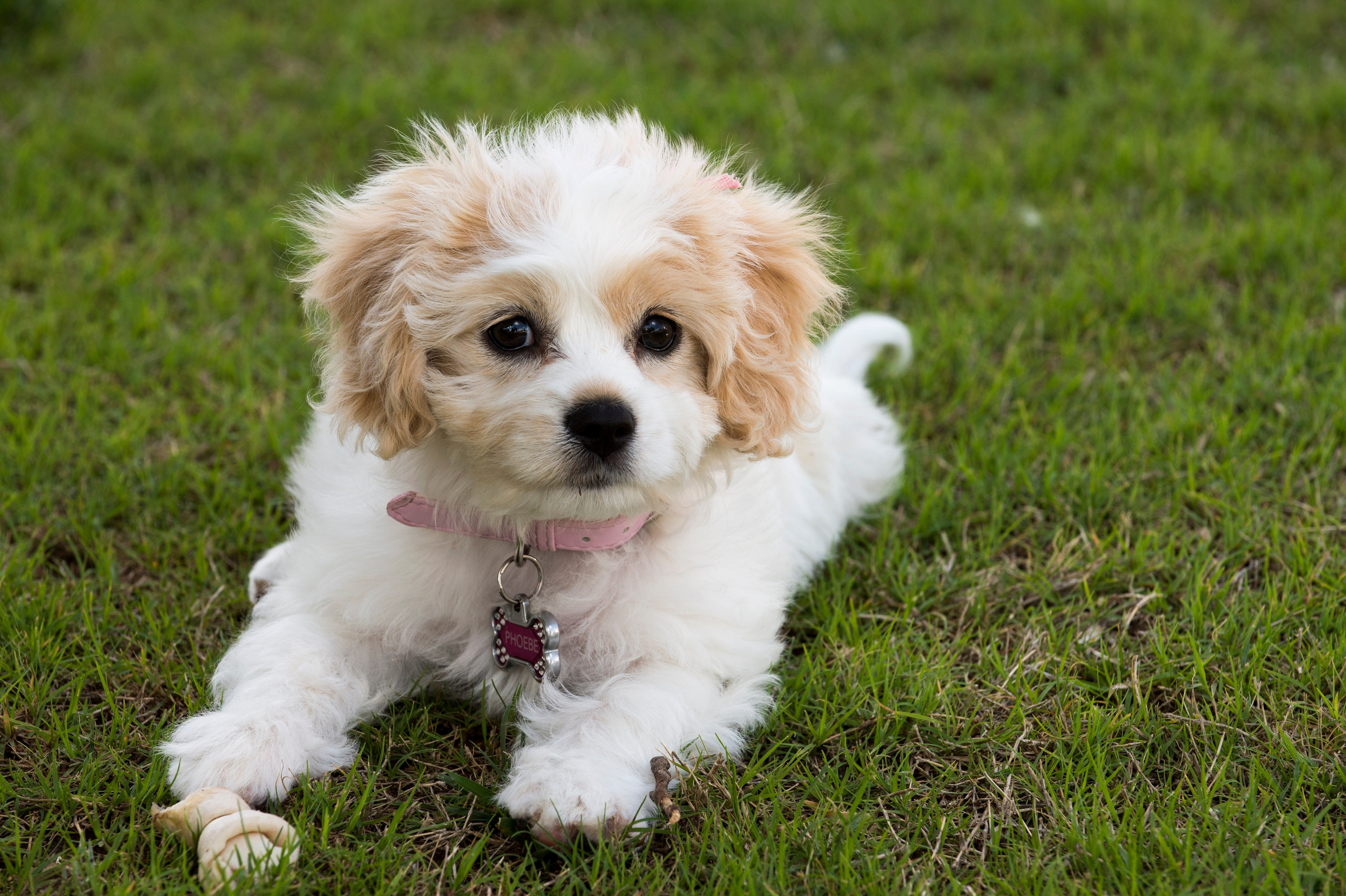 Cavachon Mixed Dog Breed Pictures