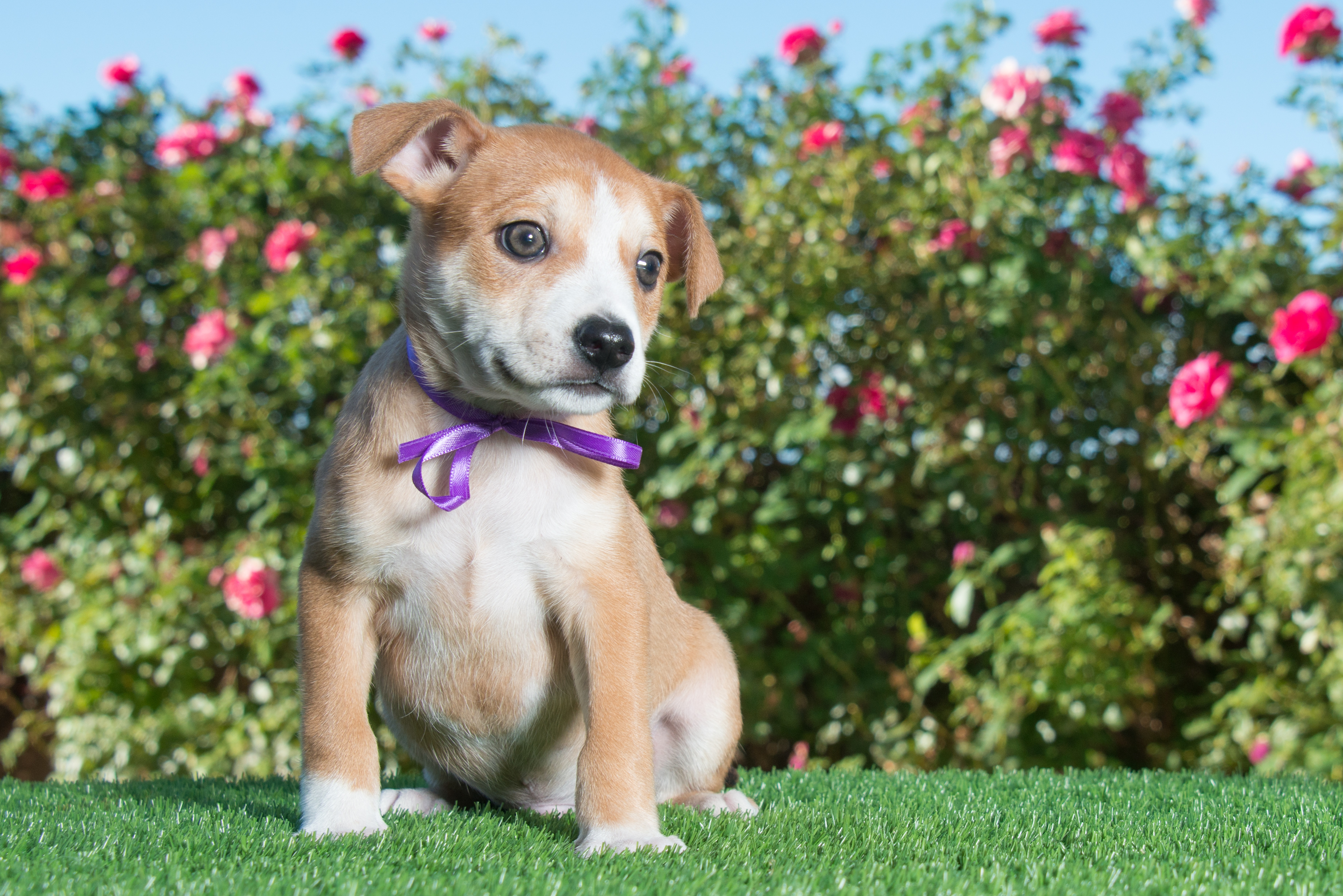 Cheagle Mixed Dog Breed Pictures
