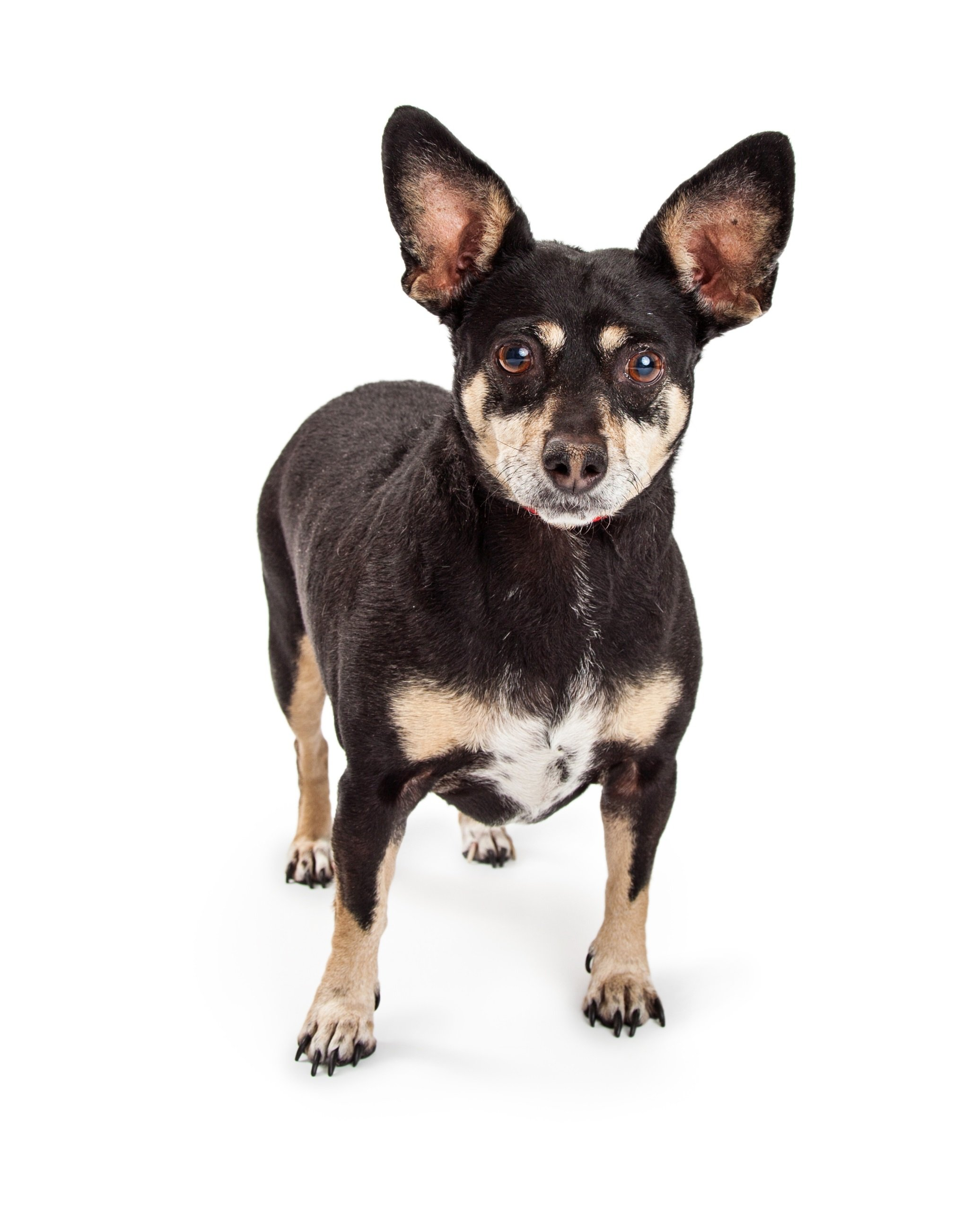 Chipin Mixed Dog Breed Pictures