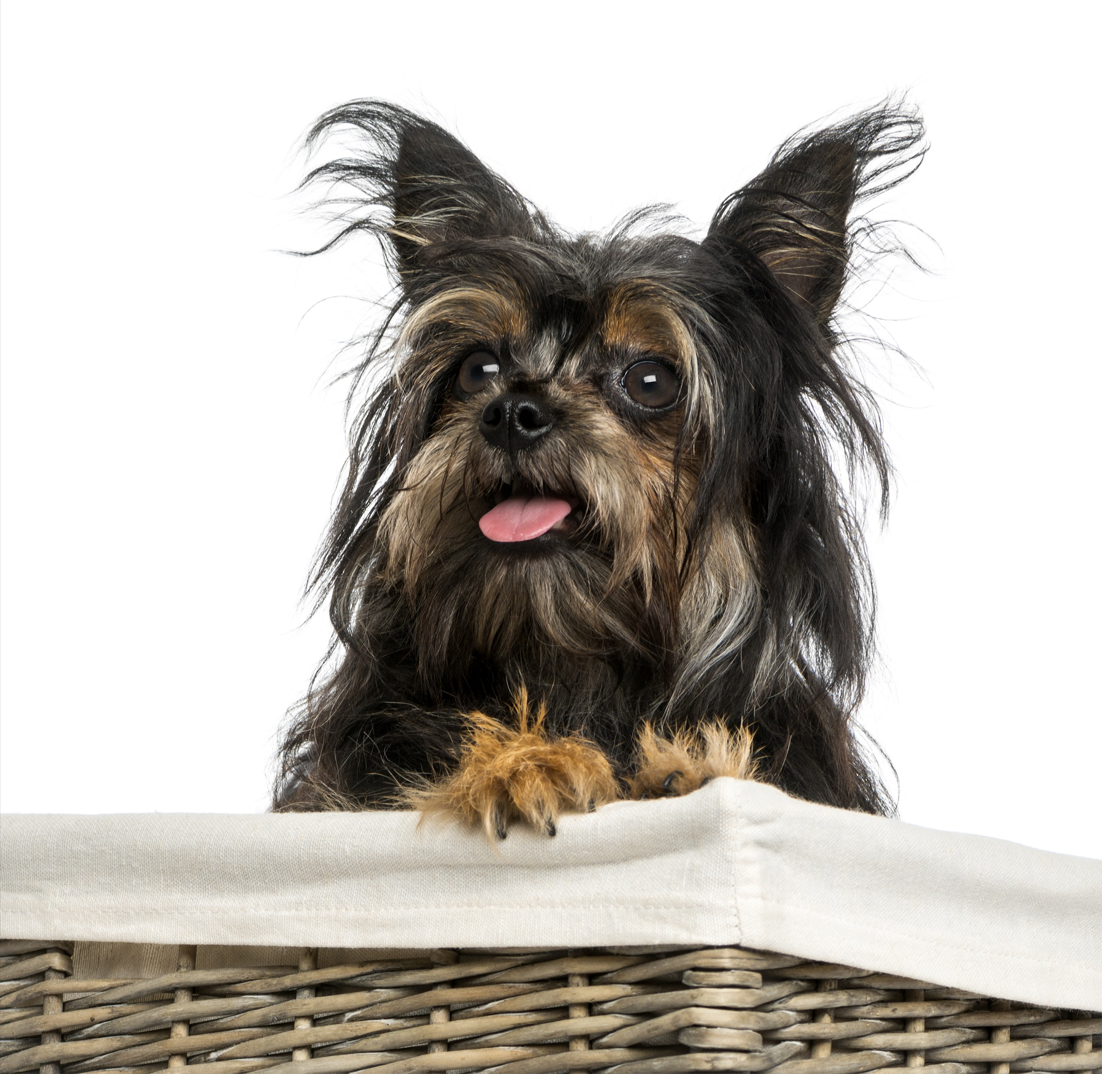 Chorkie Mixed Dog Breed Pictures