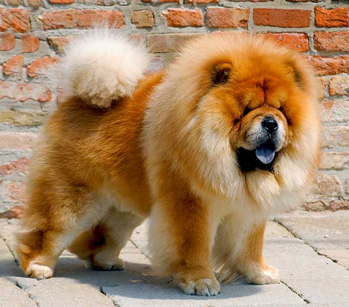 Chow Chow Dog Breed Picture