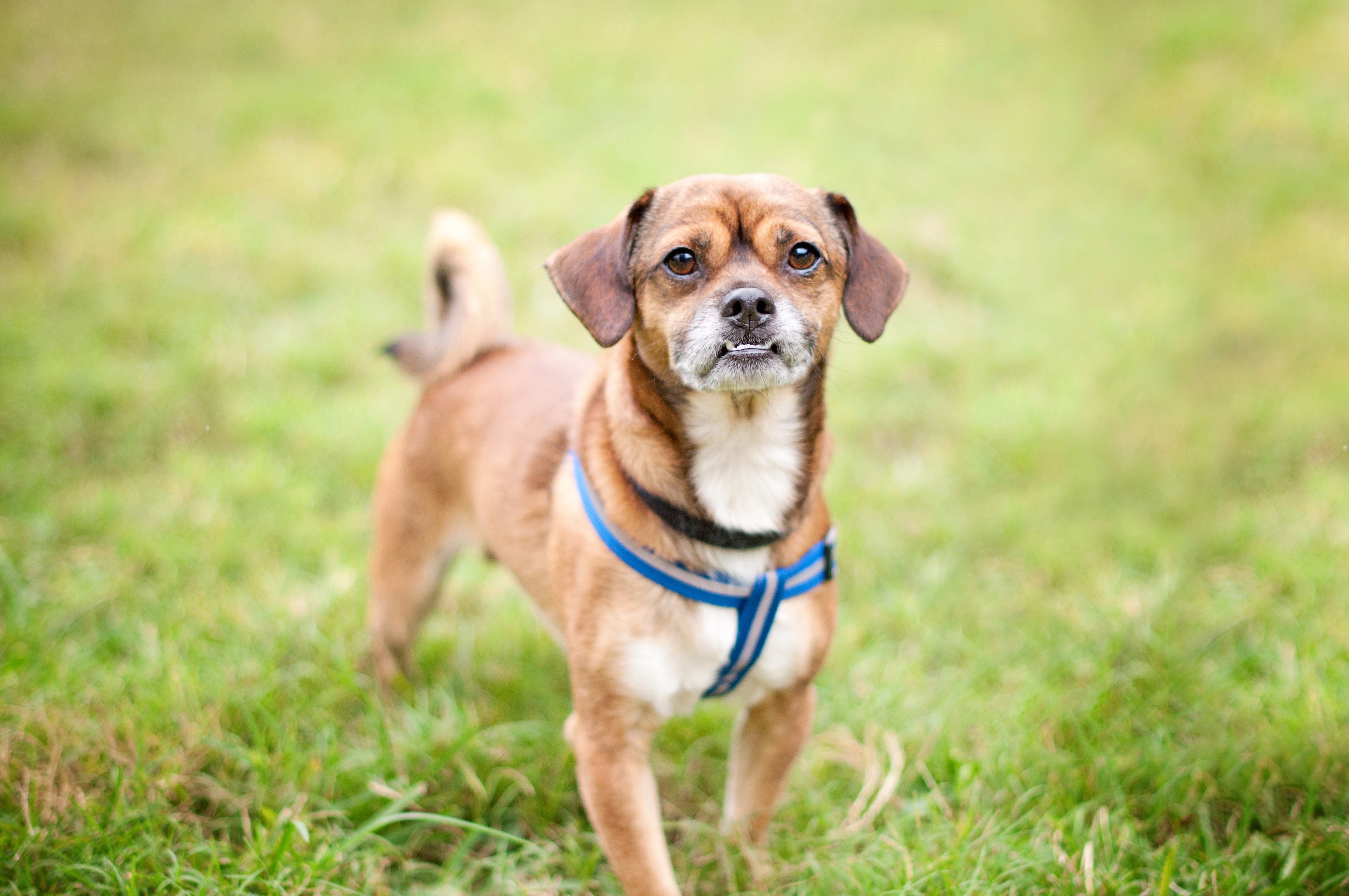 Chug Mixed Dog Breed Pictures
