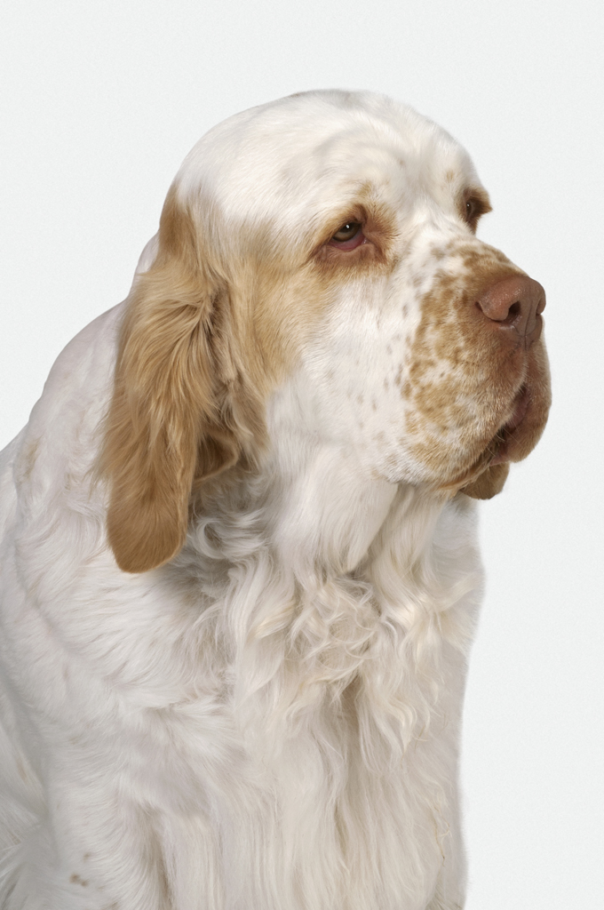 Clumber Spaniel Dogs And Puppies