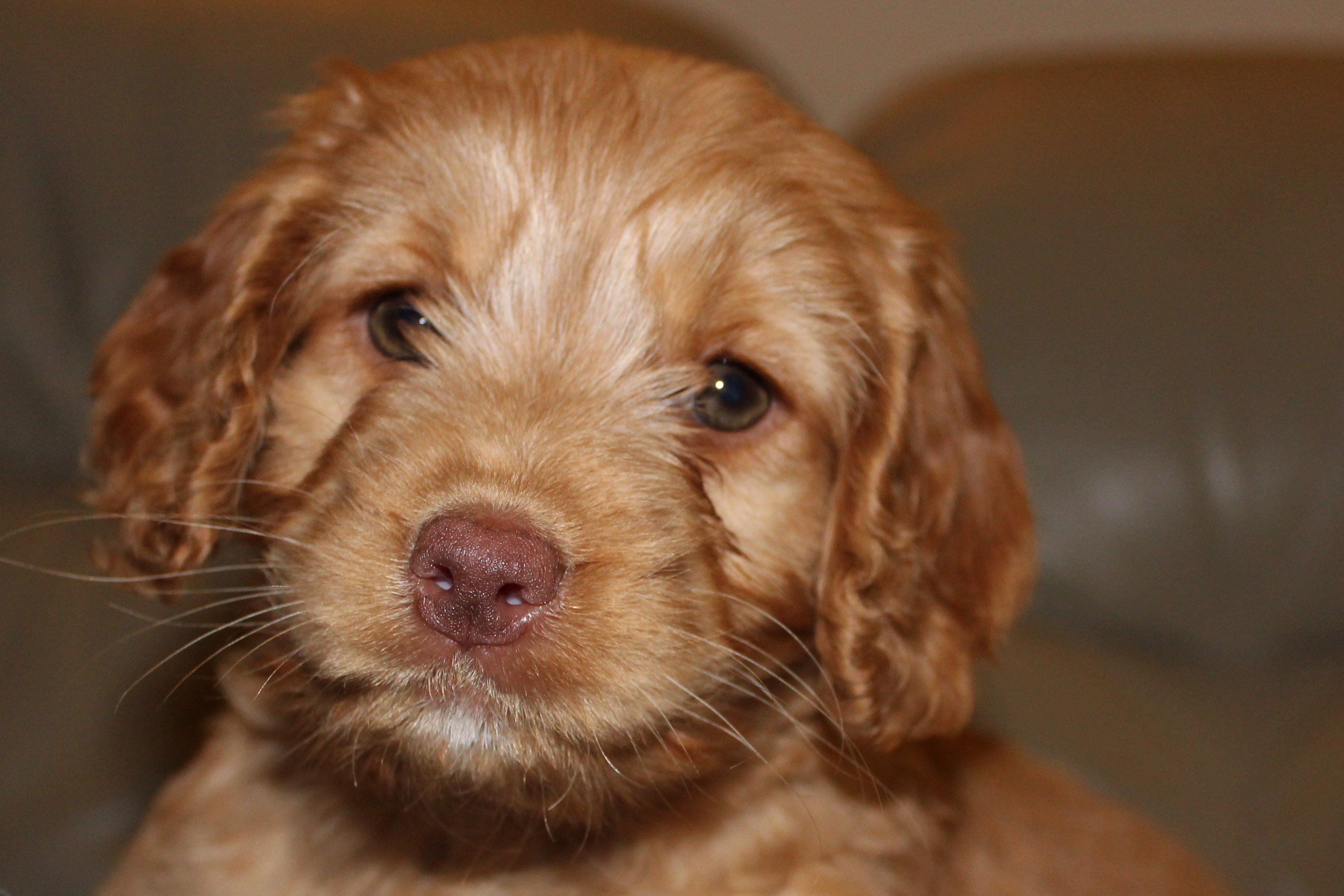 Cockapoo Puppies Pictures And Facts Dogtime