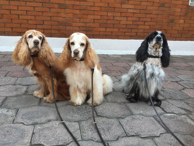 Cocker Spaniel Dogs And Puppies