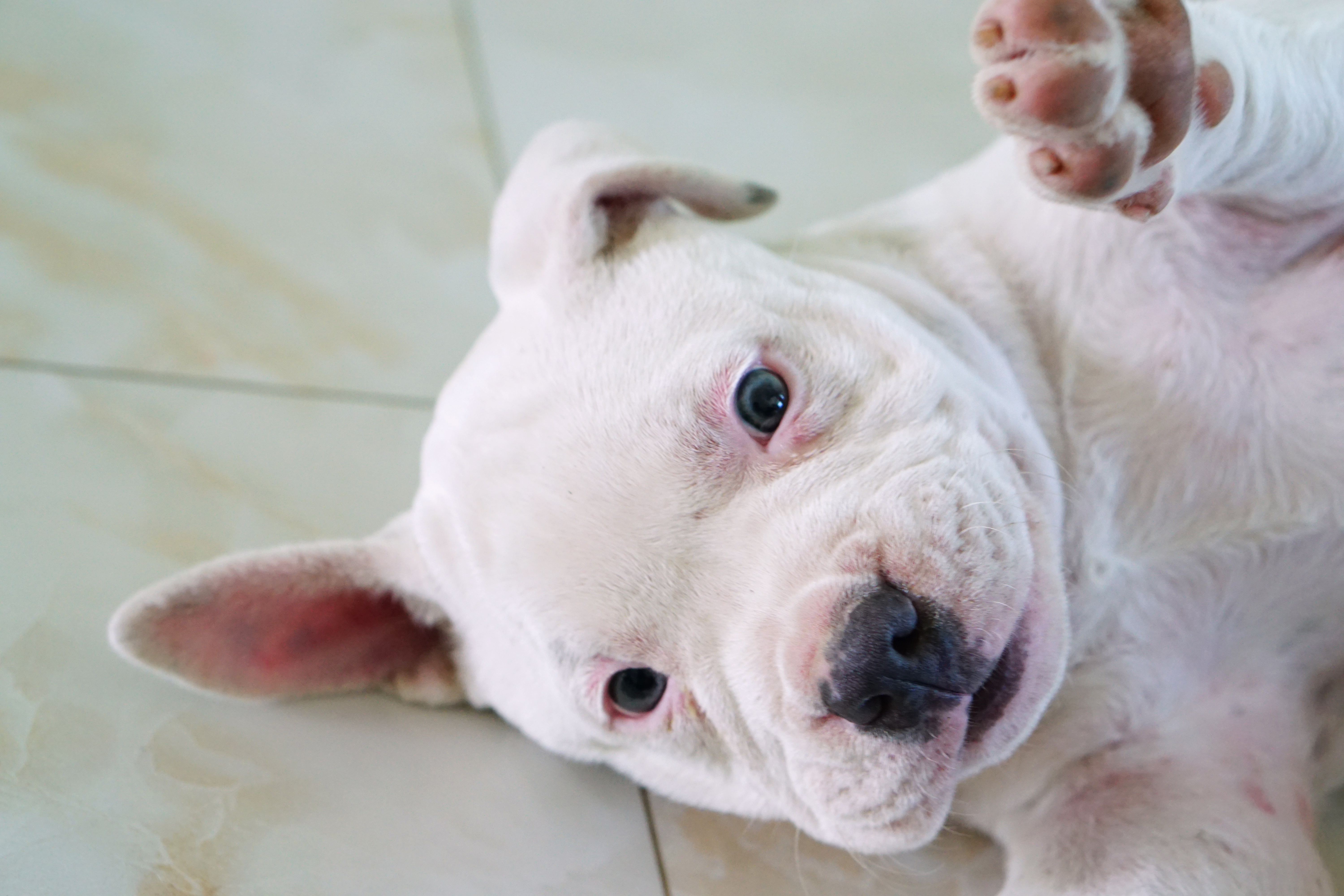 Pictures Of Cute Pit Bull Puppies