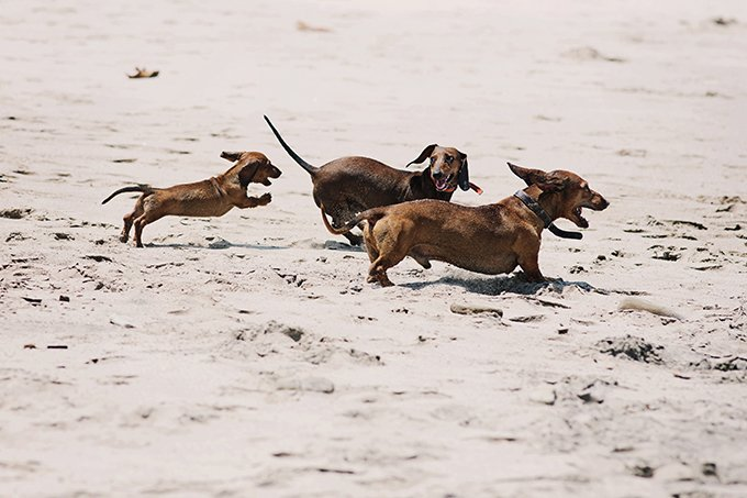 Dachshund Dog Breed Picture