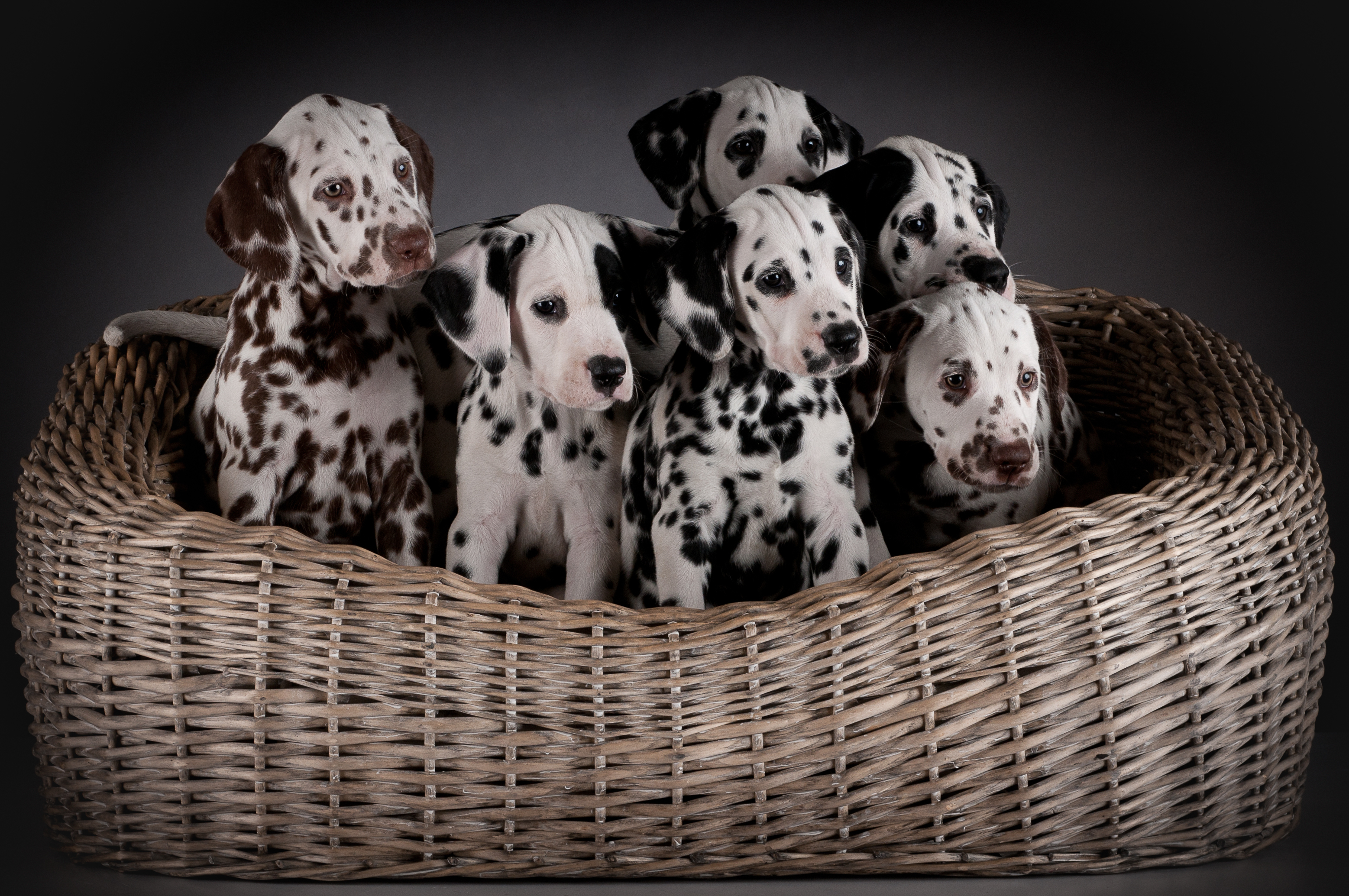 Dalmatian puppies in a basket