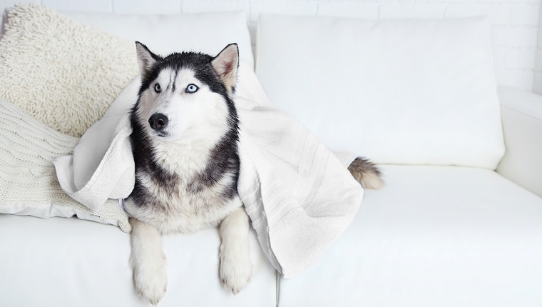 Myth 7: Dogs Can Remove Excess Snow From Fur By Themselves