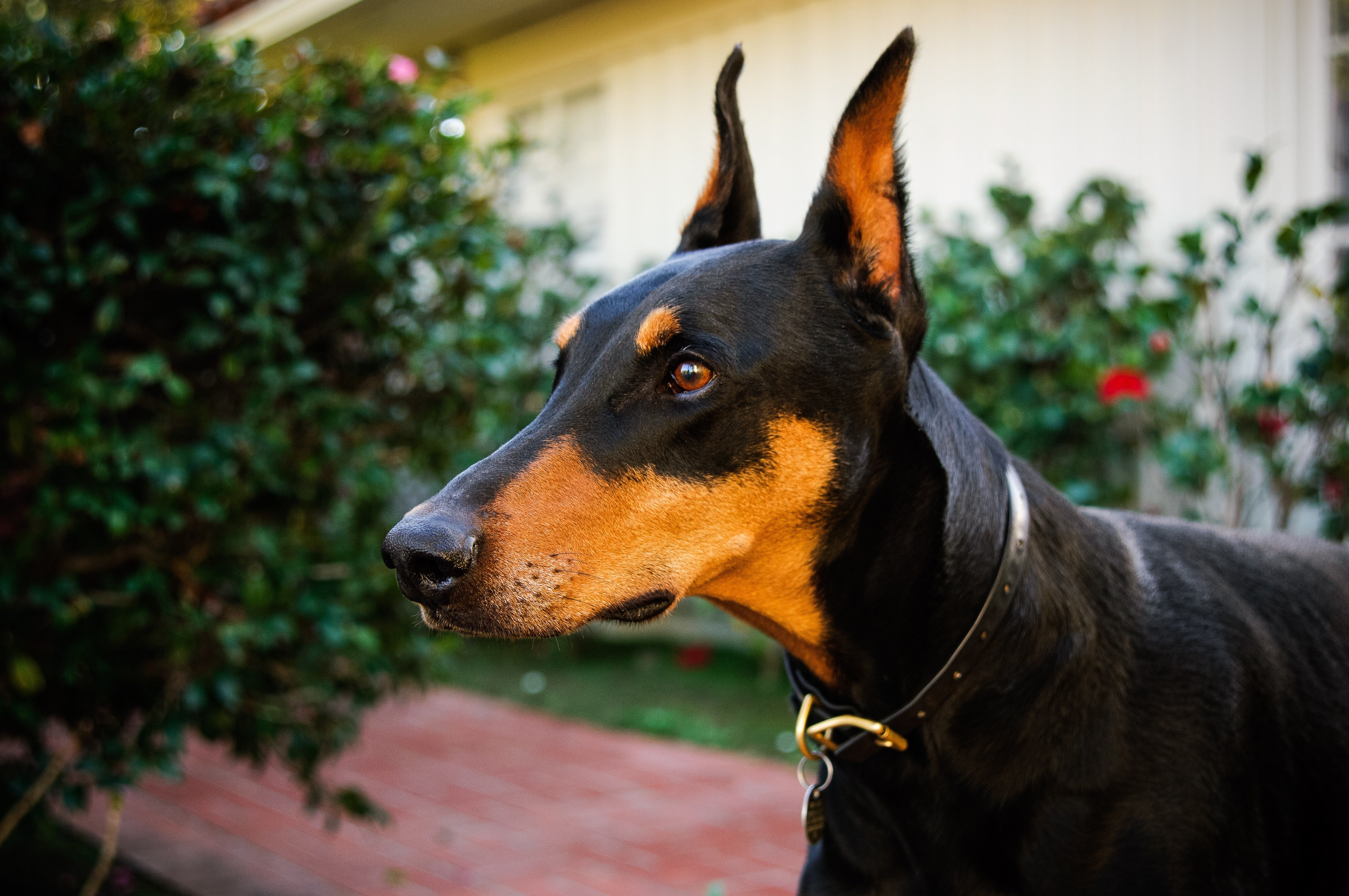 Doberman Pinscher Dog Breed Information Pictures Characteristics Facts Dogtime