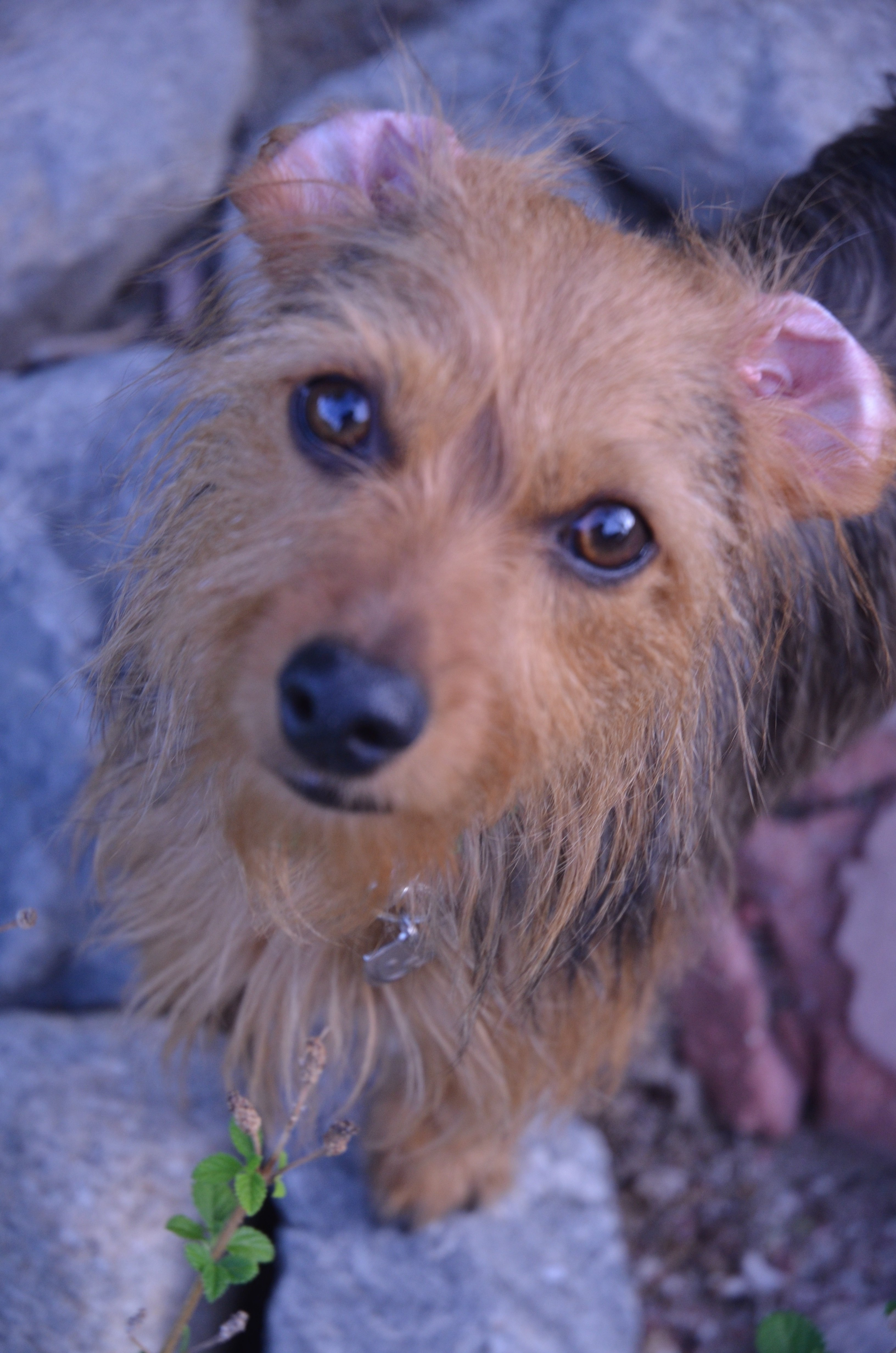 Dorkie Mixed Dog Breed Pictures