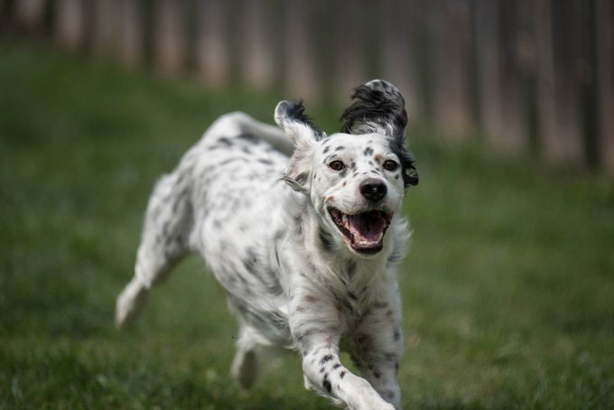 English Setter Dogs And Puppies