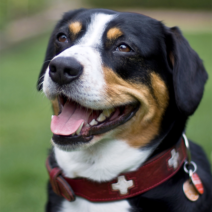 Entlebucher Mountain Dog Breed Picture