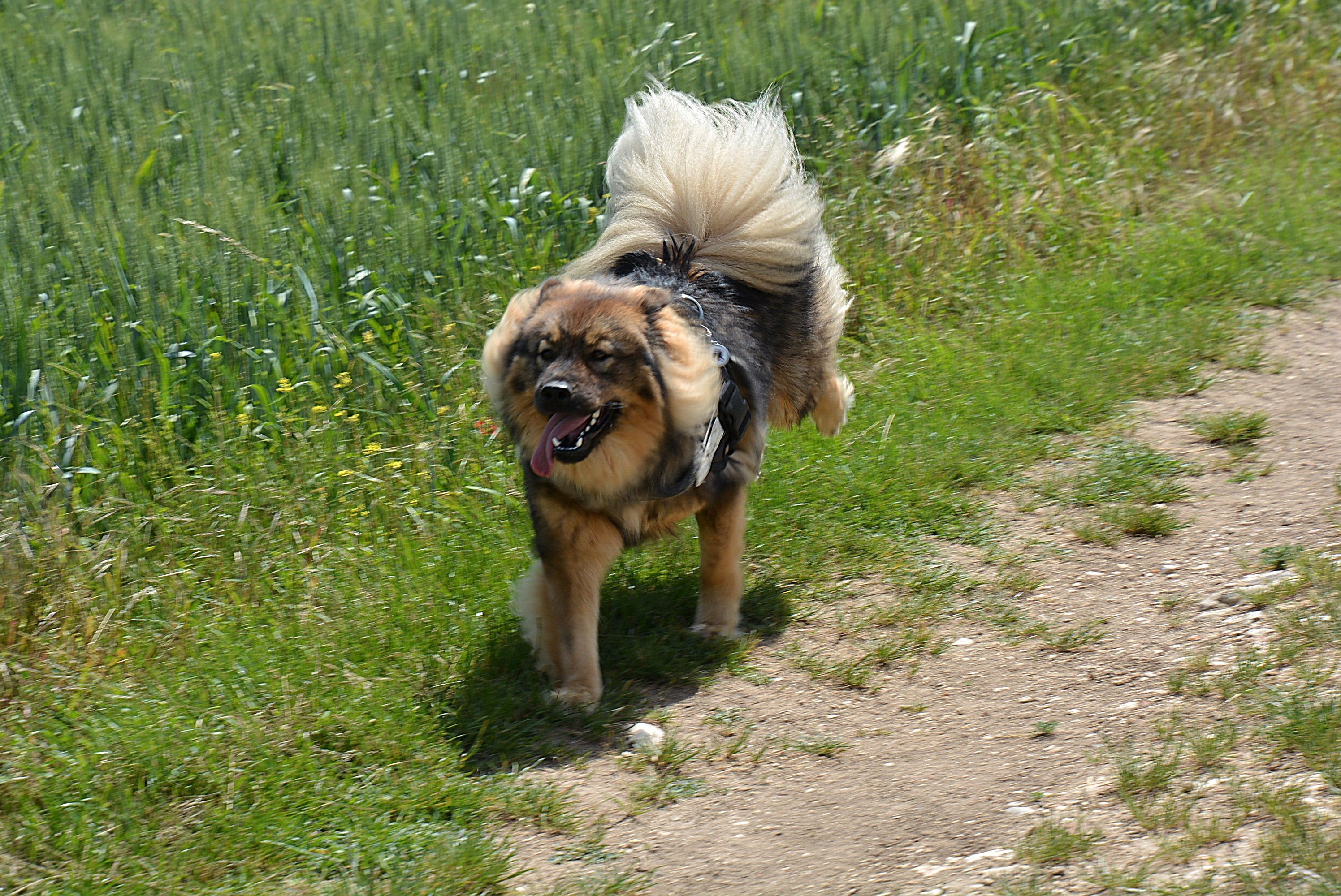 Eurasier Dog Breed Pictures
