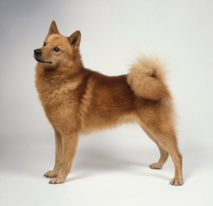 Finnish Spitz Dogs And Puppies