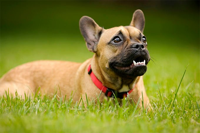 French Bulldog Dog Breed Picture