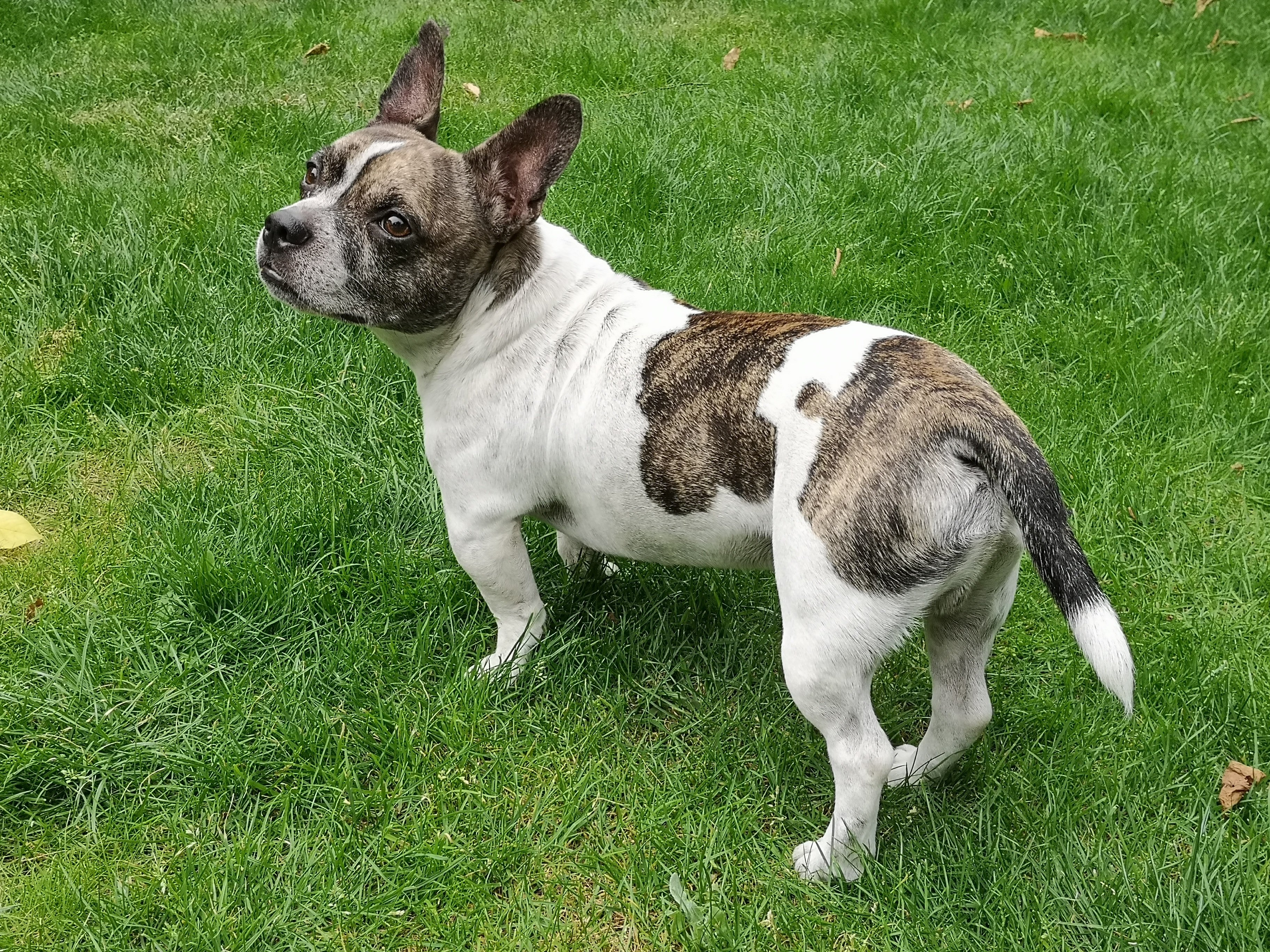 French Bullhuahua Mixed Dog Breed Pictures