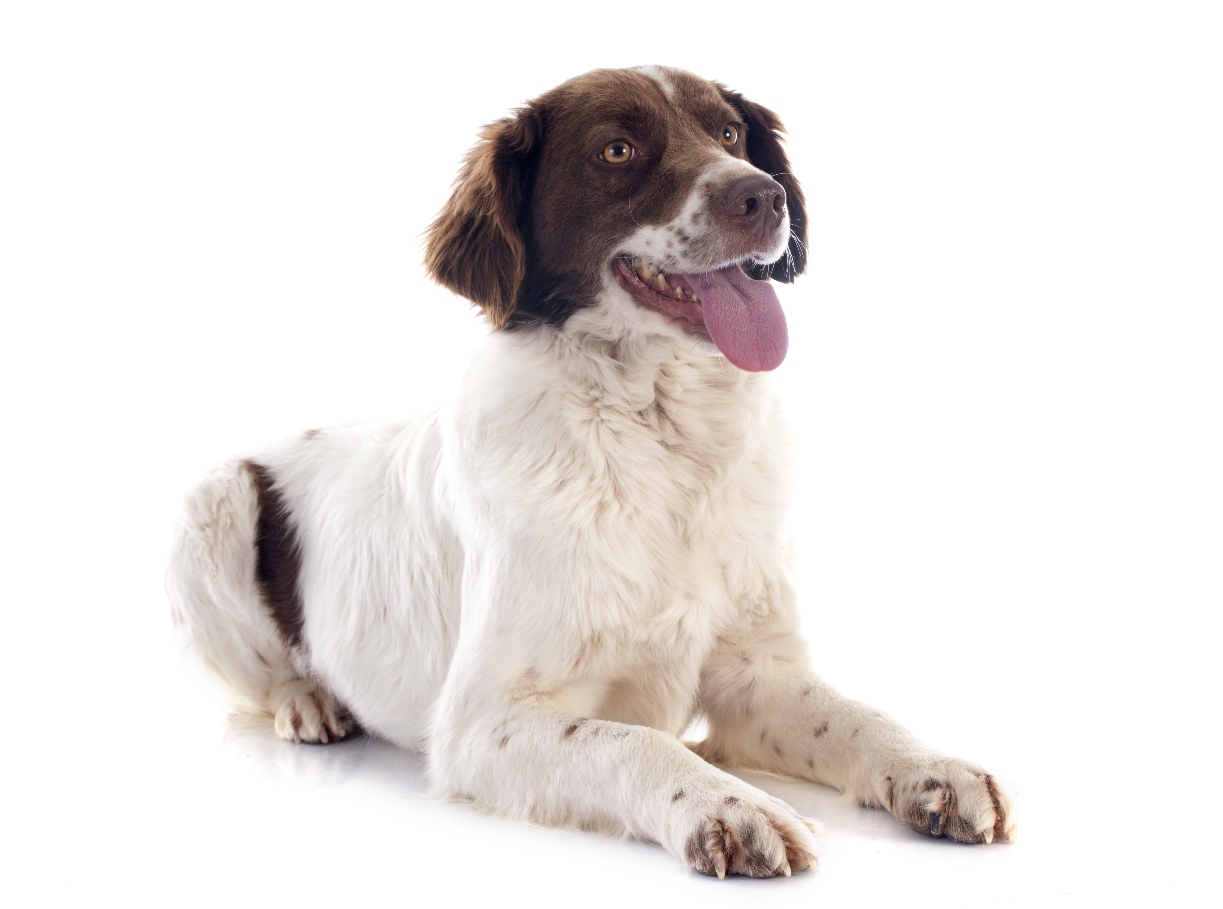 French Spaniel Dog Breed Pictures